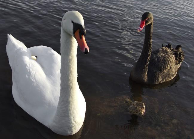 white_black_swans1